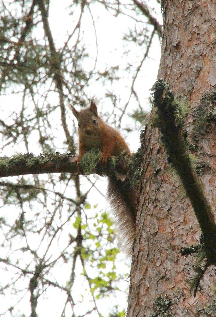 Red Squirrel  by oldjosh