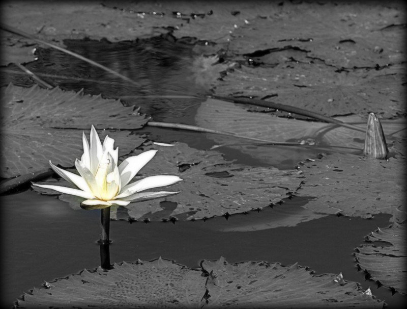 Water Lily by moya
