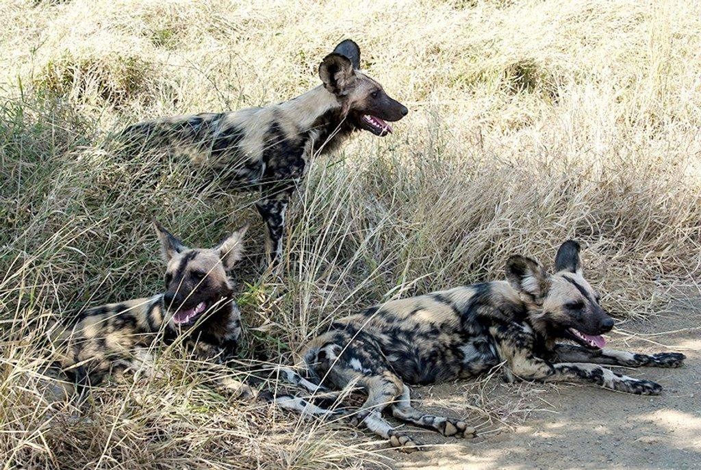 Wild Dogs by salza