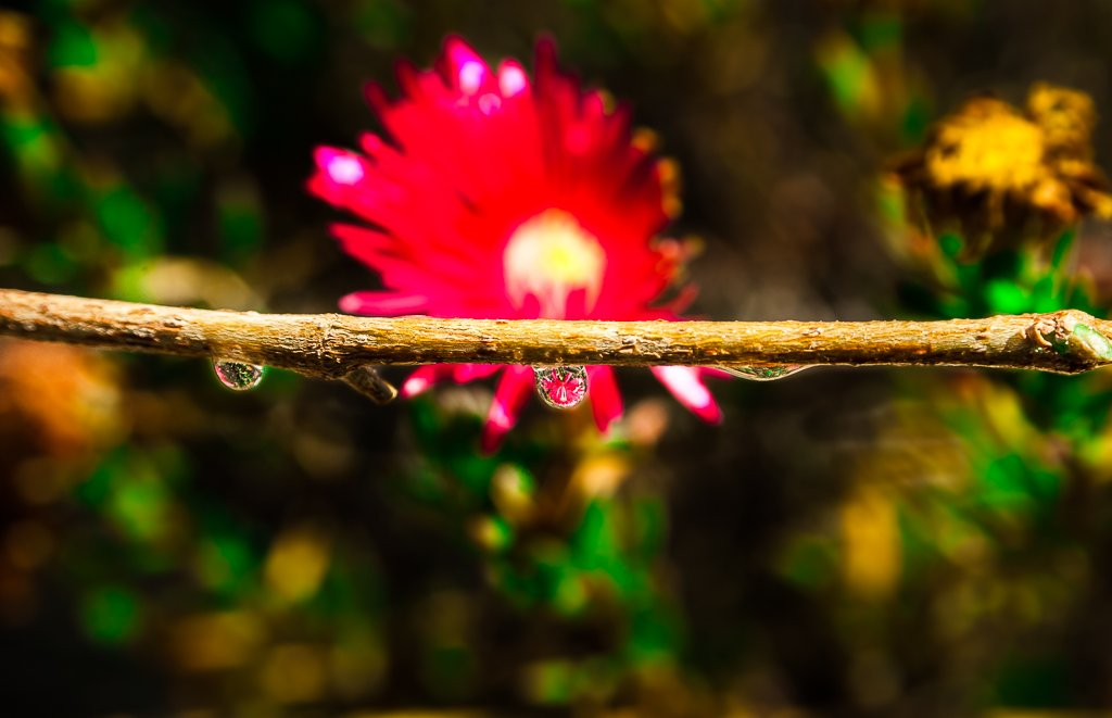 (Day 126) - A Drop of Flower by cjphoto