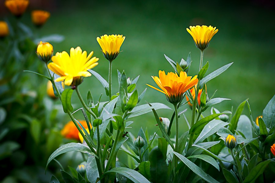2015 08 18 - Bunch of Daisies by pixiemac