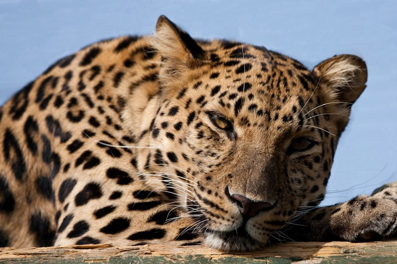 20th August 2015 - leopard by pamknowler
