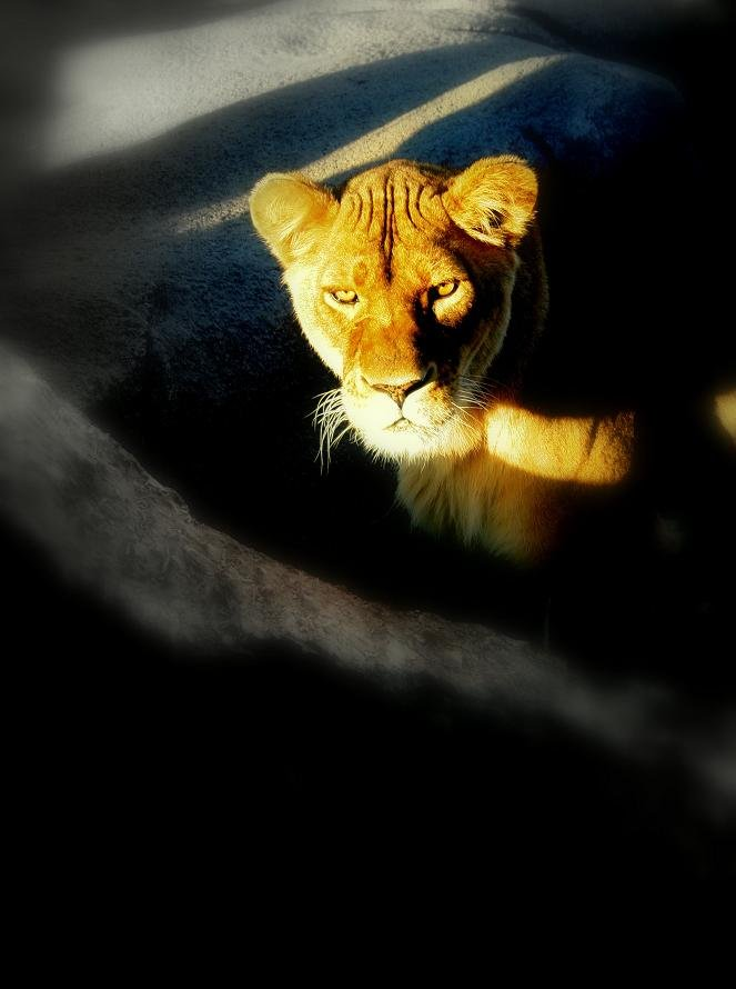 Lioness by maggie2