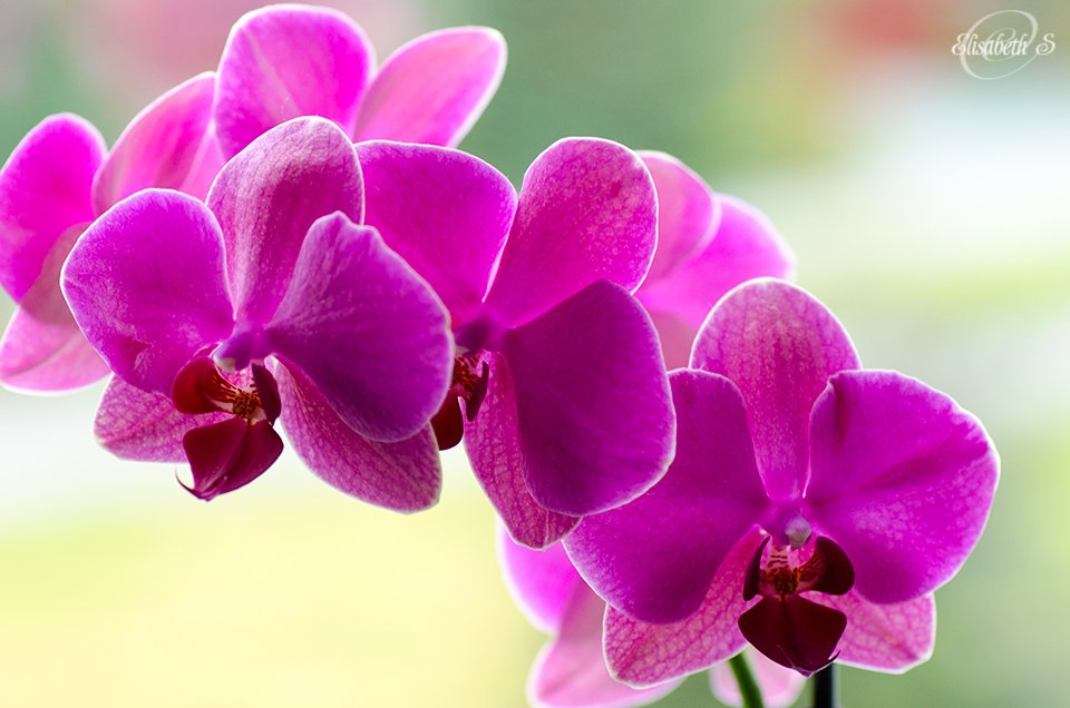 Pink orchid by elisasaeter