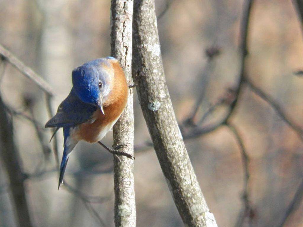Eastern Bluebird by dsp2