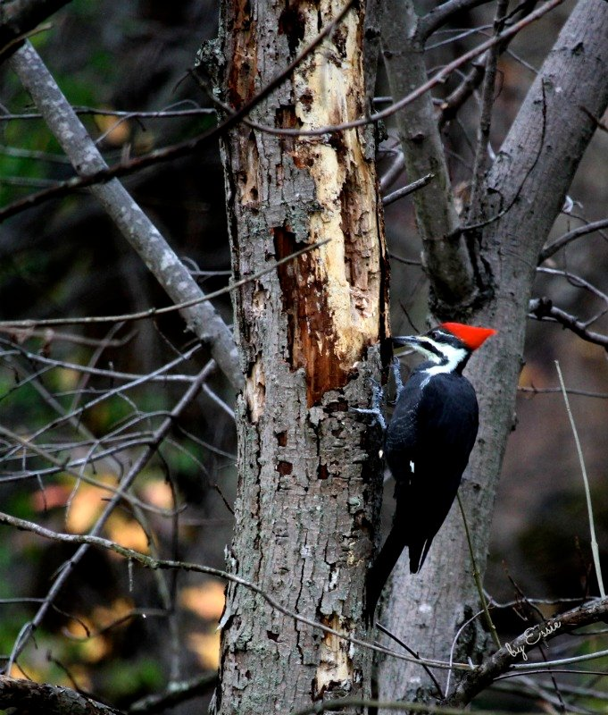 Pileated Woodpecker by essiesue