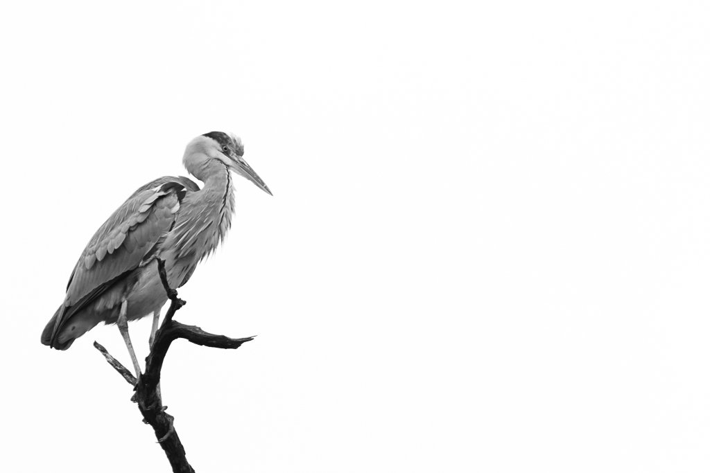Heron  by leonbuys83
