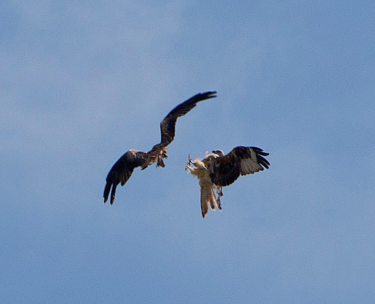 Red Kites in Mid Air.... by brickmaker