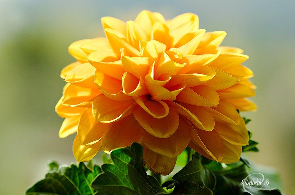 Orange Dahlia by elisasaeter