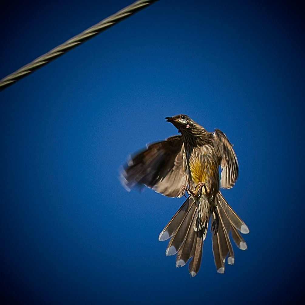 wattlebird coming in to land by maree_sanderson