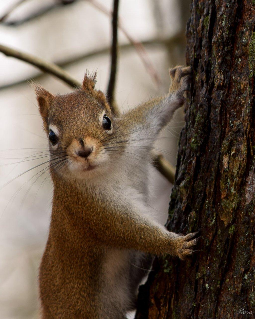 Squirrel by novab