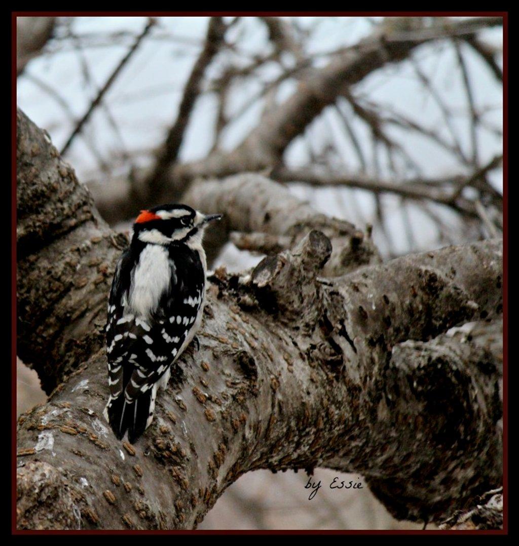 Downy Woodpecker by essiesue