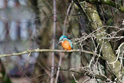 2016 02 14 - Kingfisher by pixiemac