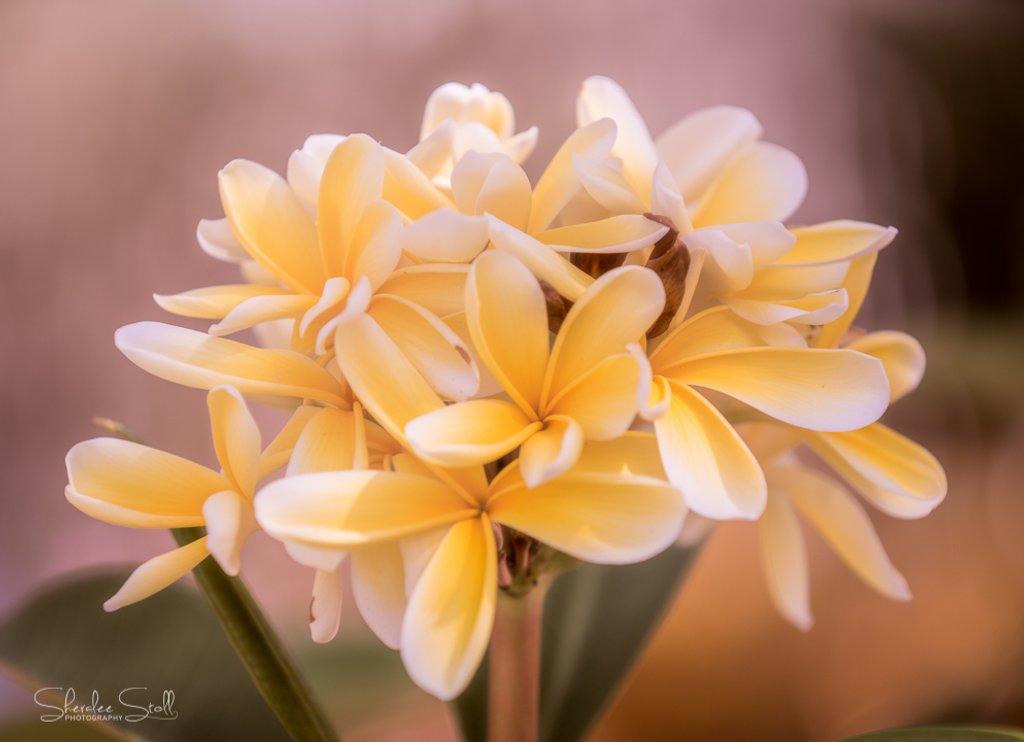 Yellow frangipani by bella_ss