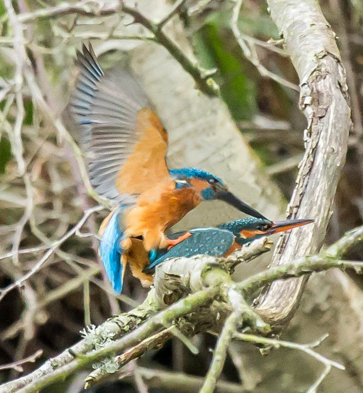 2016 02 27 Kingfisher mating by pamknowler