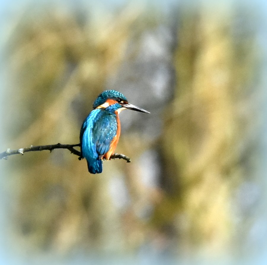 My gorgeous lovely kingfisher by rosiekind