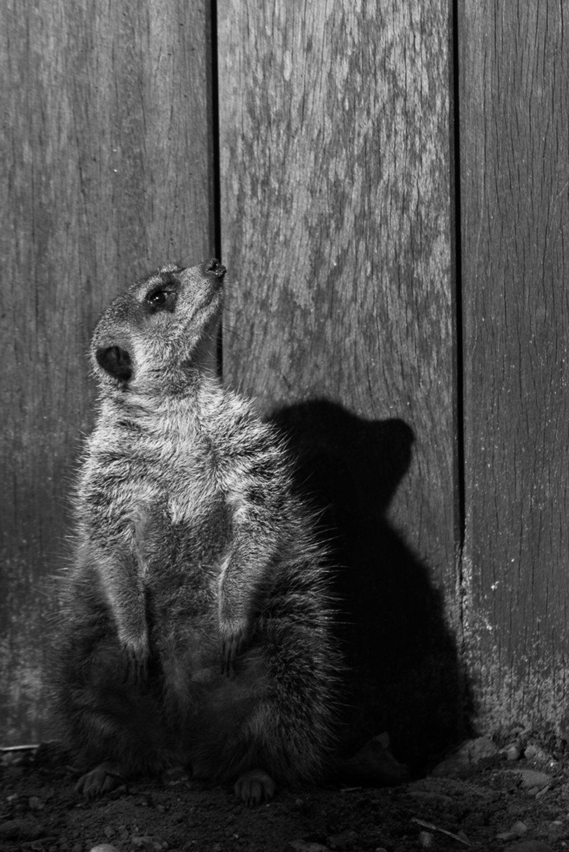 Posing Meerkat by leonbuys83