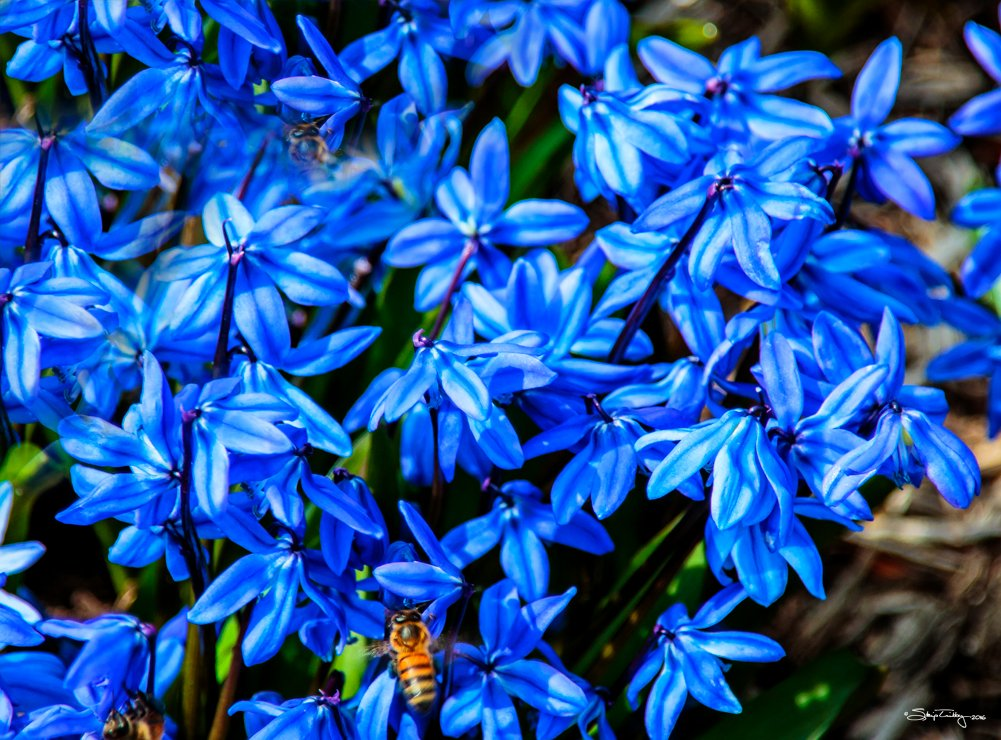 Siberian Squills and a Honey Bee by skipt07