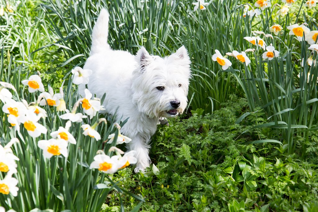 2016 04 10 In the Daffodils by pamknowler
