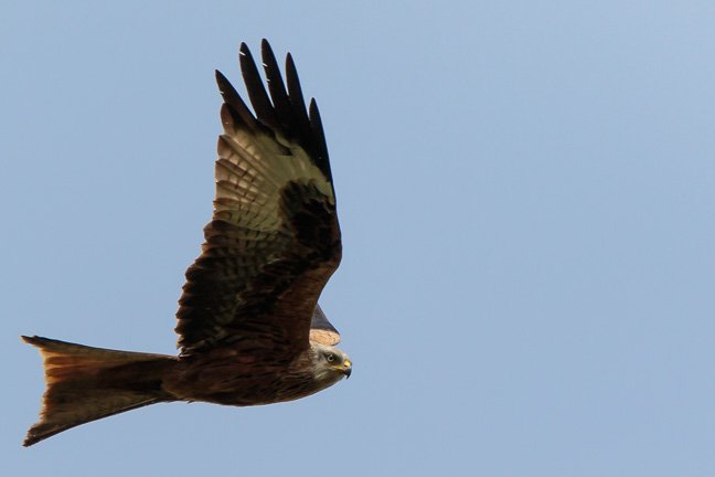 2016 04 11 - Red Kite by pixiemac