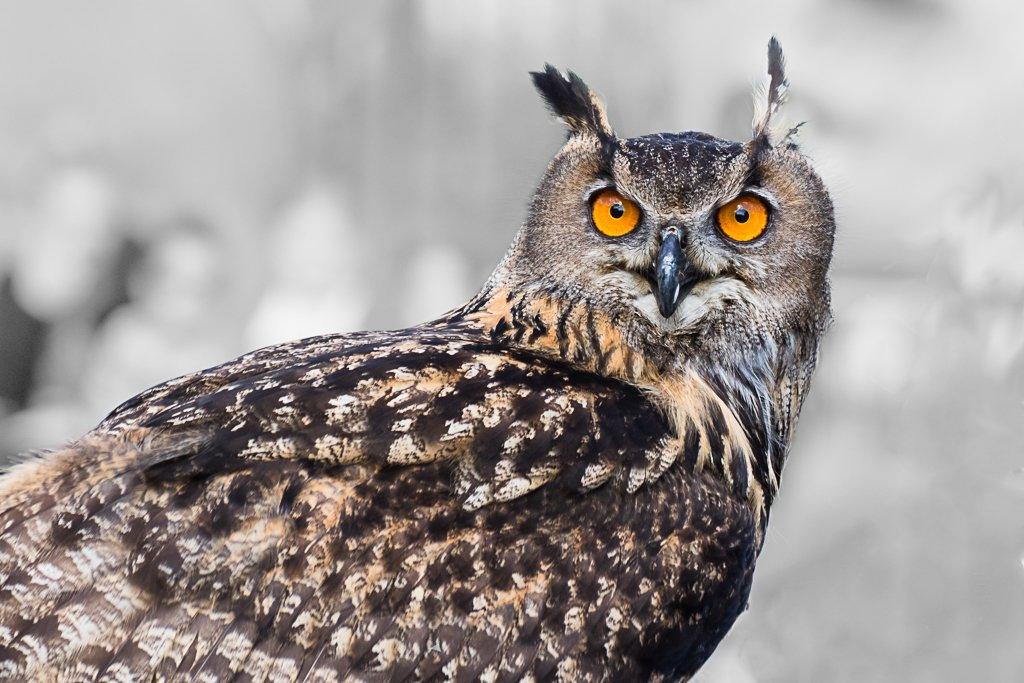 Eurasian Eagle-owl by leonbuys83