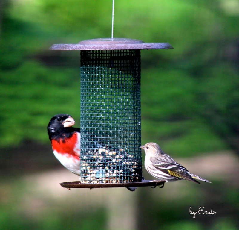 Rose-Breasted Grosbeak by essiesue