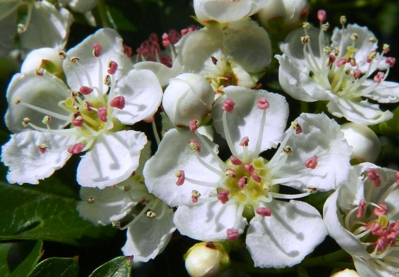 Hawthorn Blossom by fishers