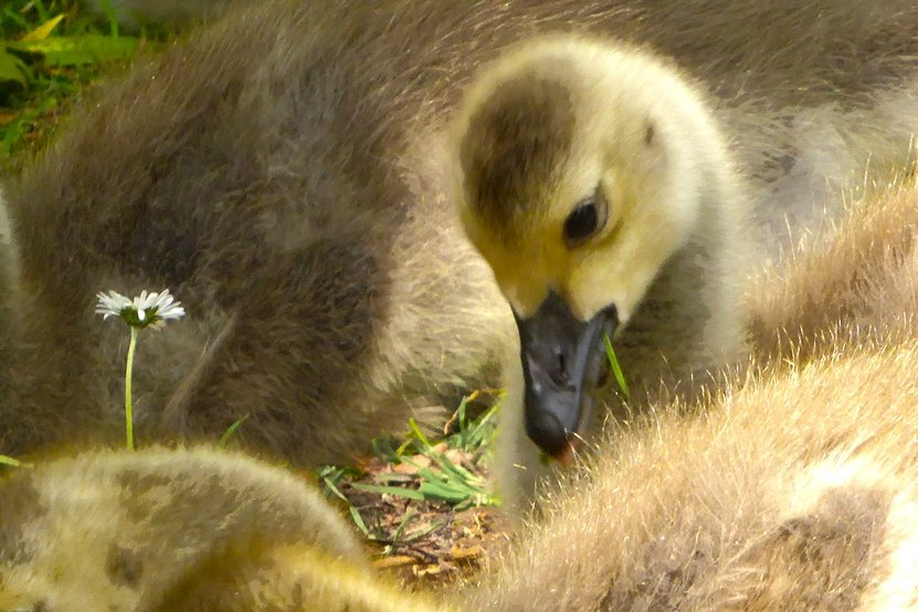 A flower for the gosling by helenhall