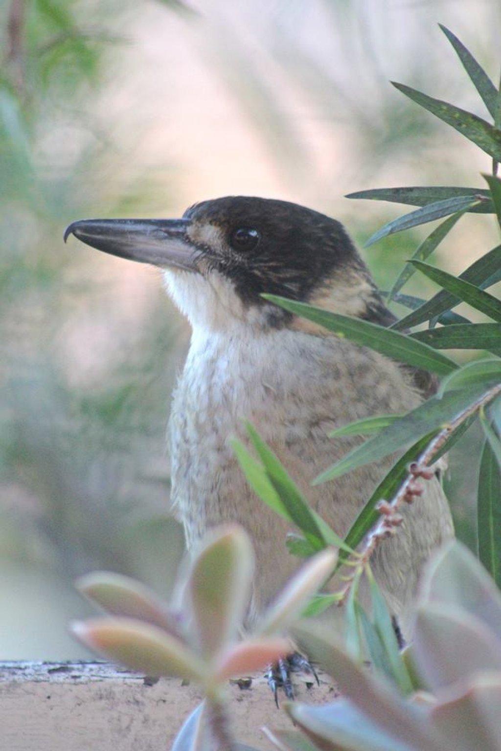Pied Butcherbird by sabine