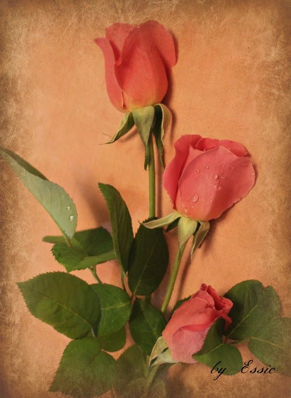 The Beauty of Roses by essiesue