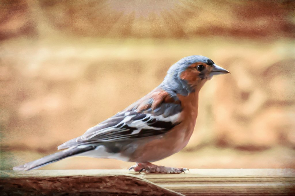 2016 07 03 Chaffinch by pamknowler
