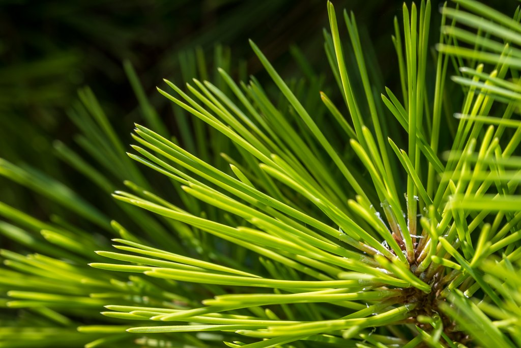 Pine Needles by jeetee