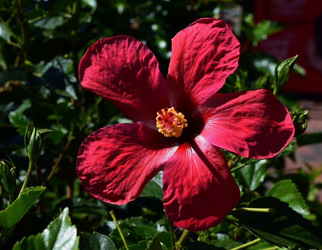 Red Hibiscus ~ by happysnaps