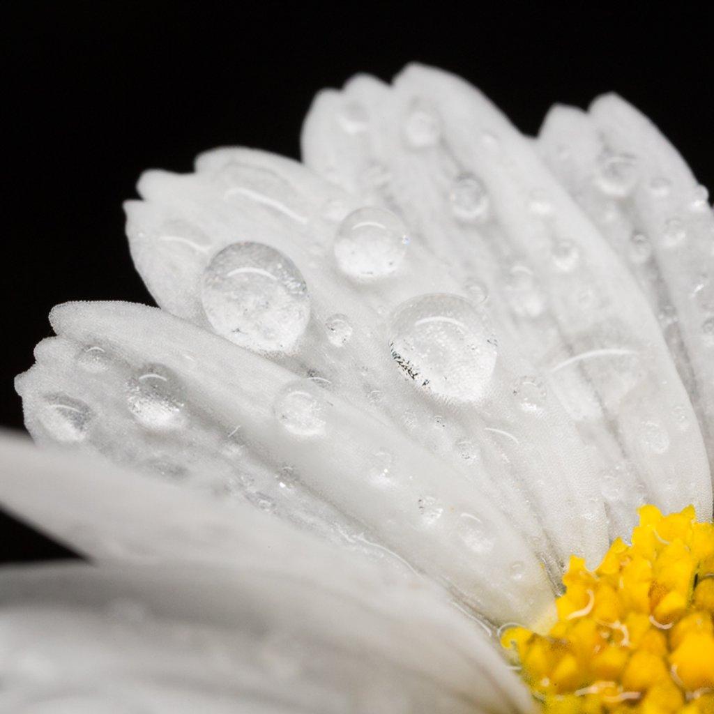 Part of a wet daisy  by suebarni