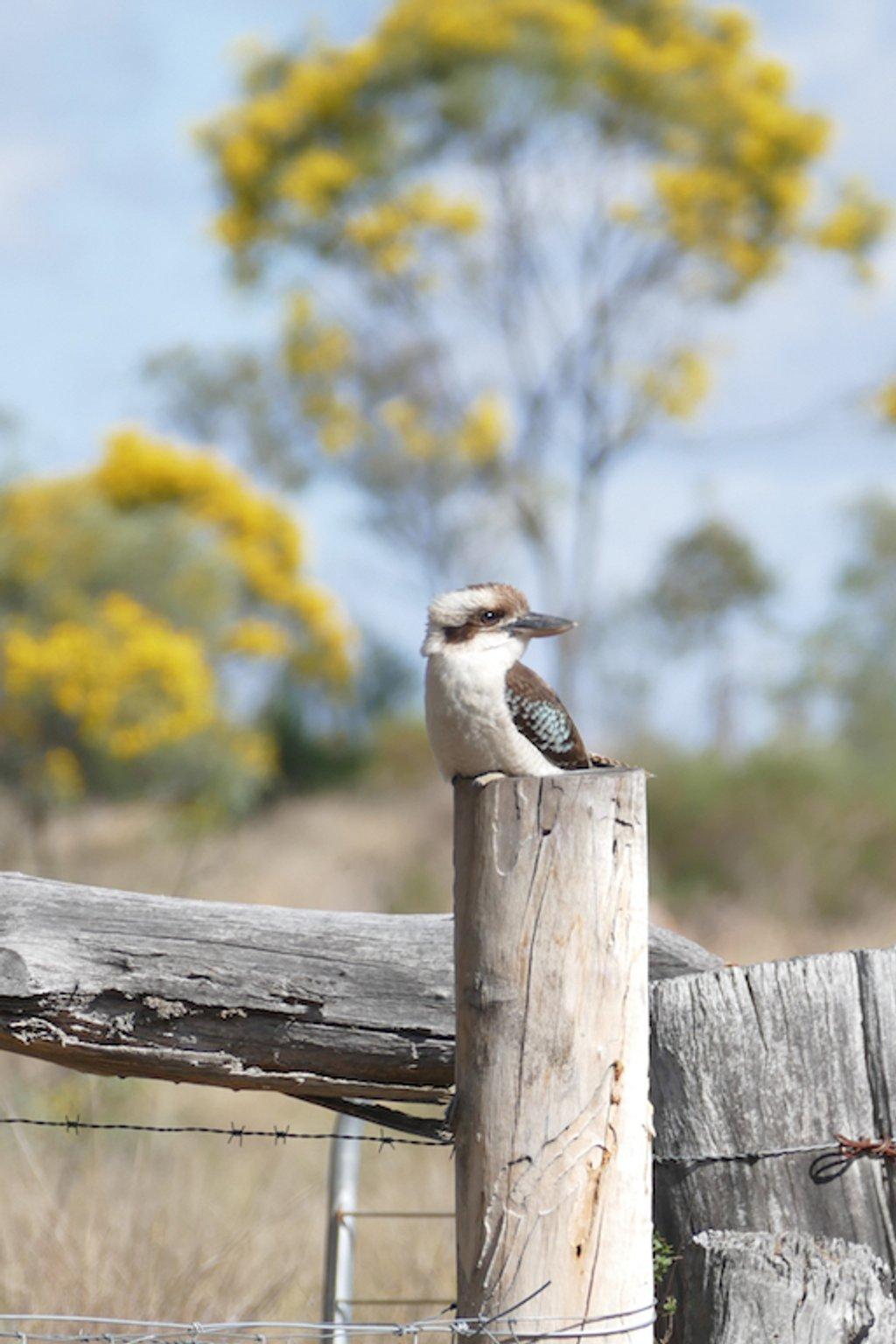 Kookaburra at Ballandean by hrs