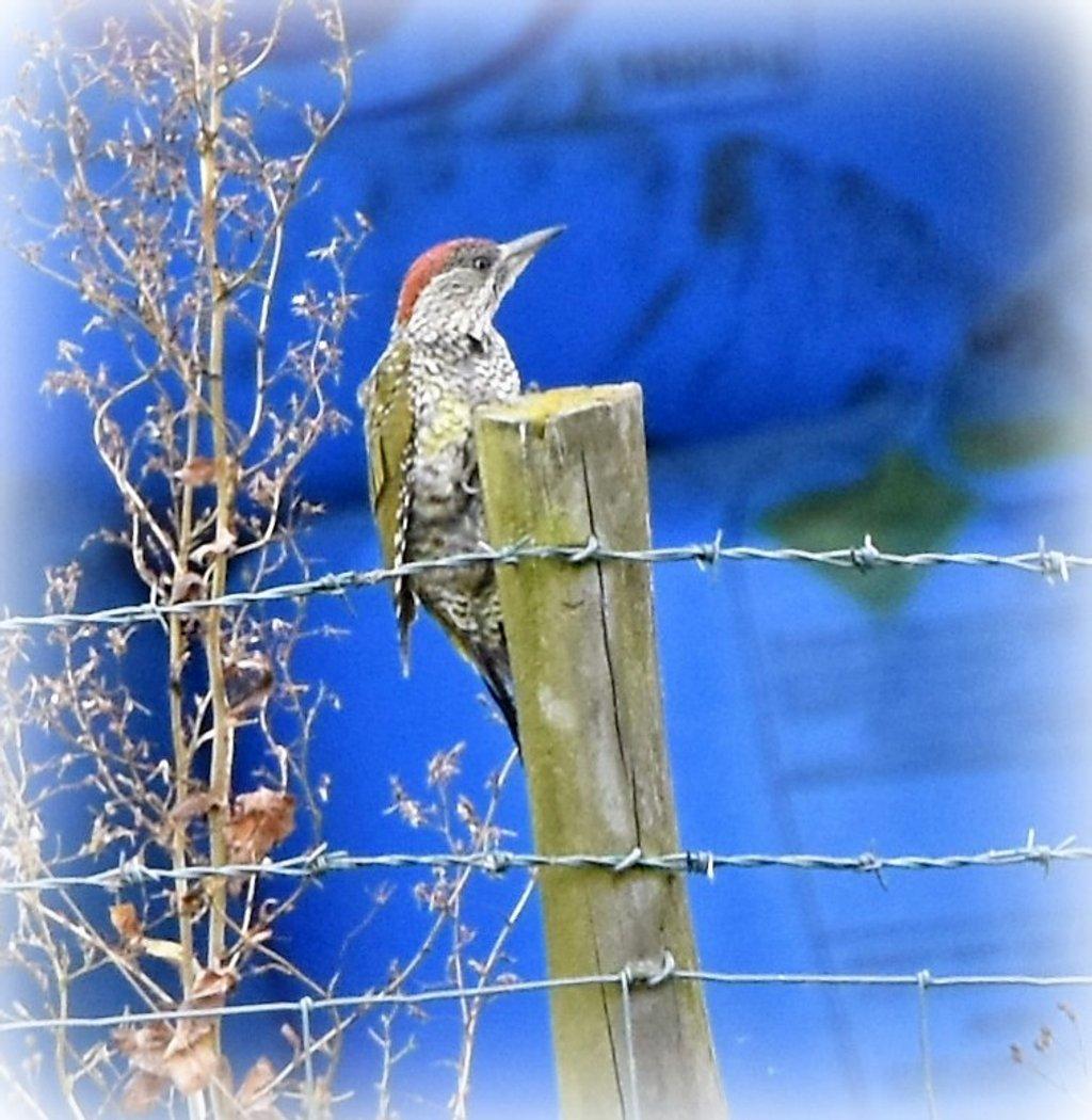 Green woodpecker by rosiekind