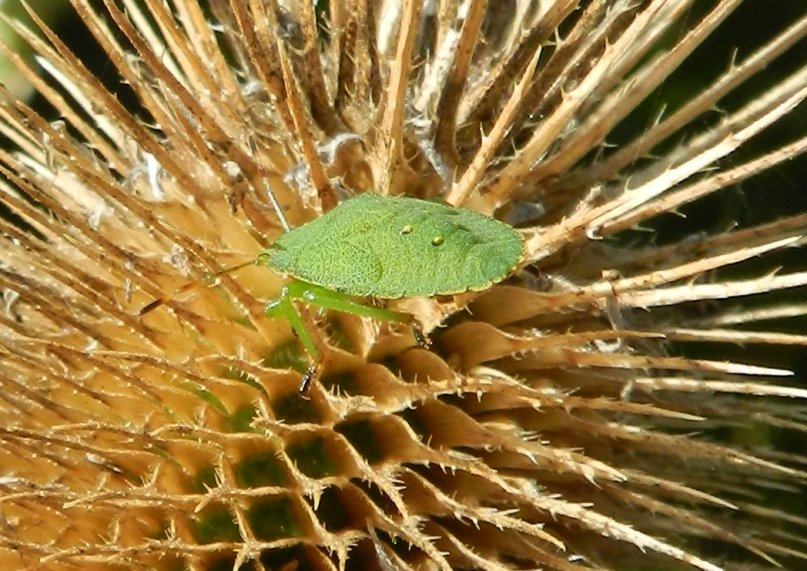 Green Shield Bug on a Teasle by fishers