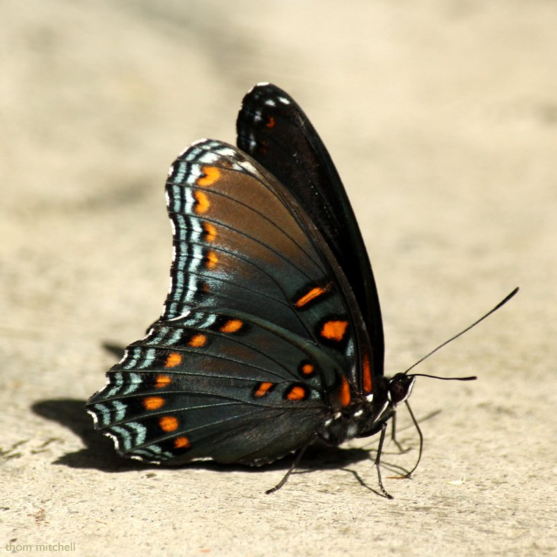 'Astyanax' Red-spotted Purple [Filler #21] by rhoing