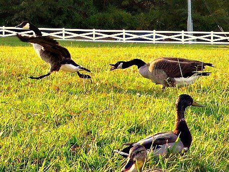 Some Geese Just Can't Take No As An Answer... by moviegal1