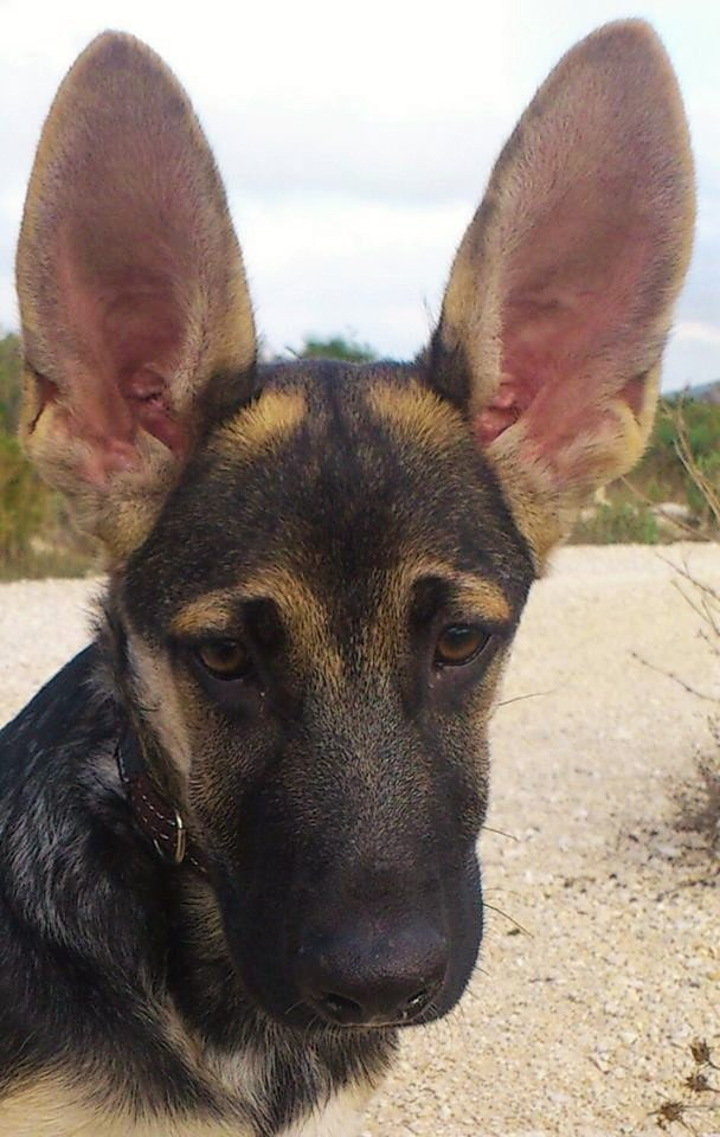 Roo's ears by rubyshepherd