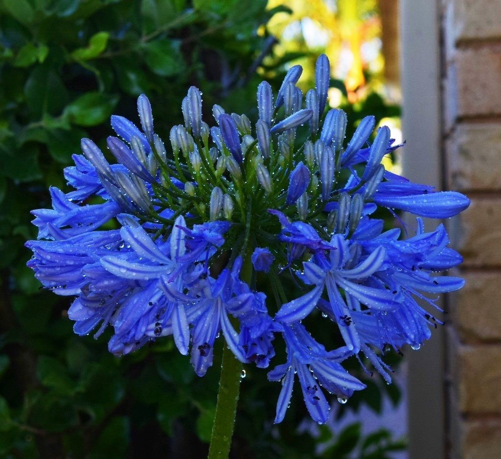 Agapanthus in the Rain ~ by happysnaps