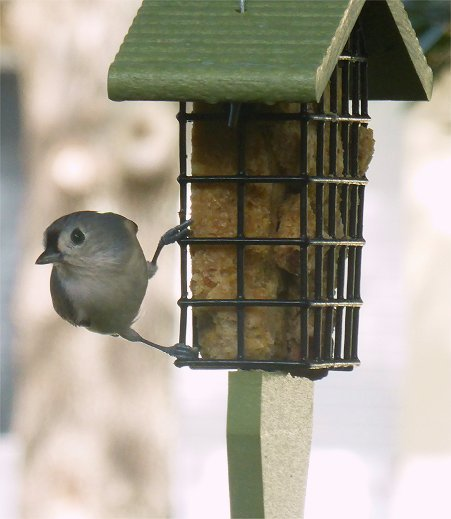 Titmouse by mimiducky