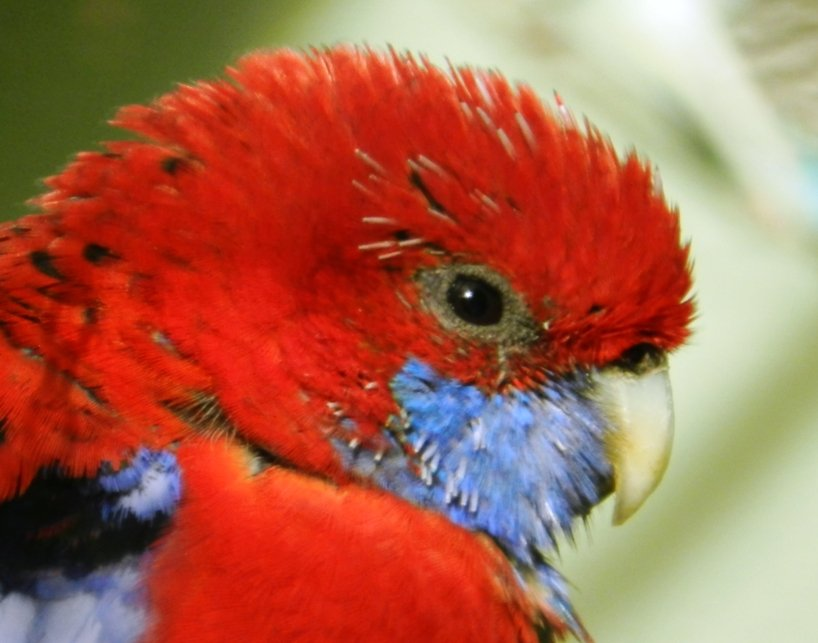 Rosella by fishers