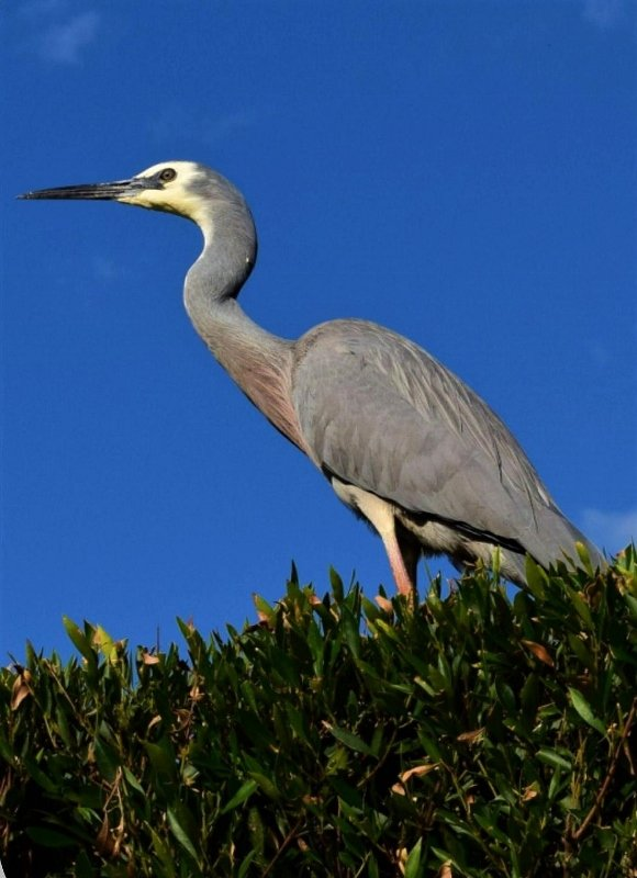 White Faced Heron ~ by happysnaps