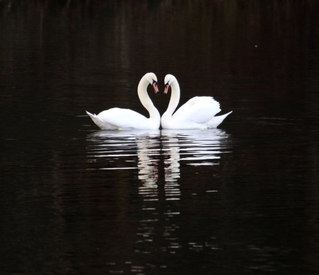 Loving Swans! by chris17
