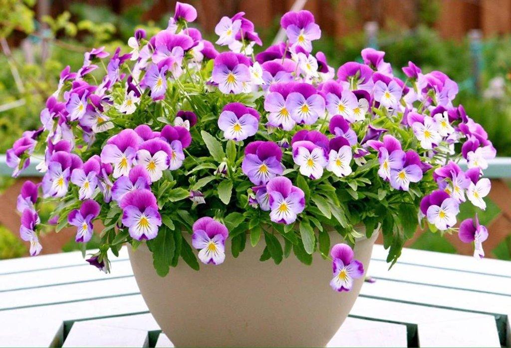 Violas  by beryl