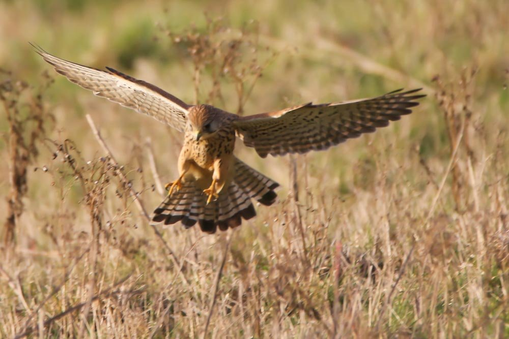 Female Kestrel Attacking!!! by padlock