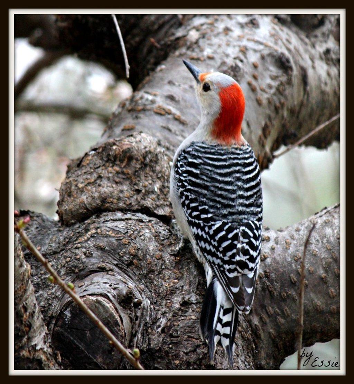 Ladder-Backed Woodpecker by essiesue