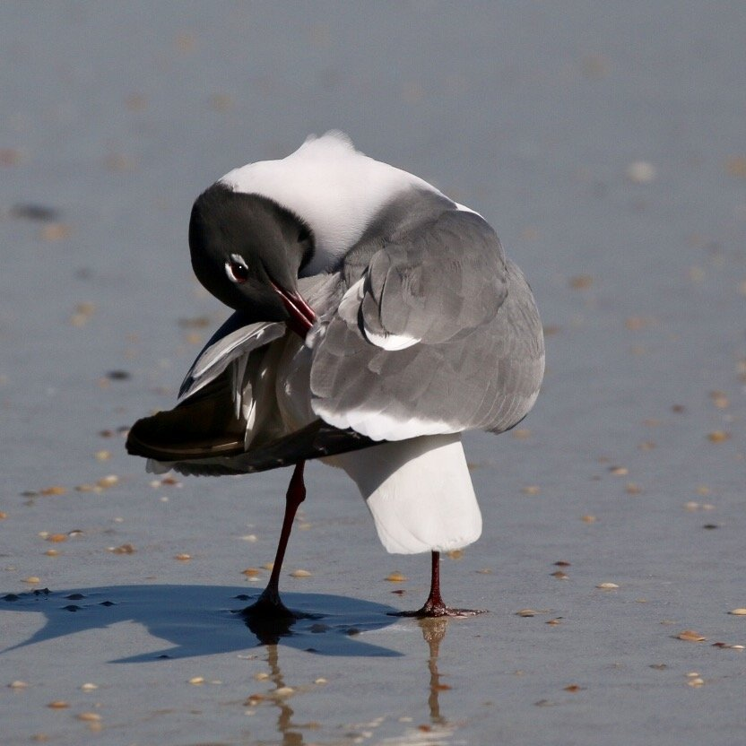 Gull  doing a little grooming.  Ppjuno by jnorthington