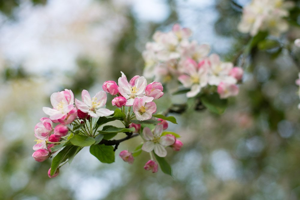 Blossom by helenm2016